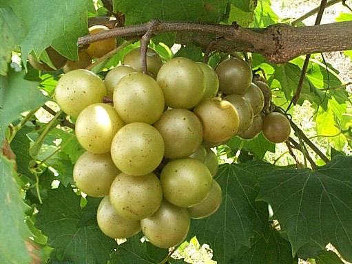 grape muscadine