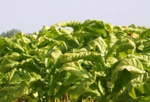 johnston-co-tobacco2