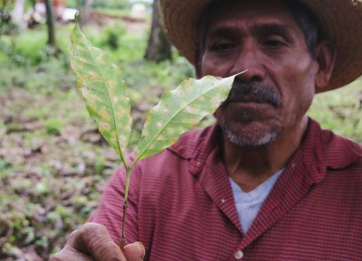 Mexican coffee farmer Jorge Hernandez holds a arabica leaf infected by roya. REUTERS/David Alire Garcia