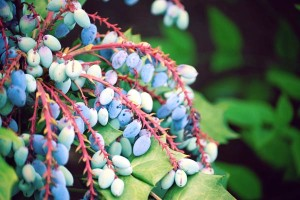 picktennesseeproducts-locallygrowngrapes